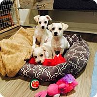 Adopt A Pet :: Queenie - Long Beach, CA