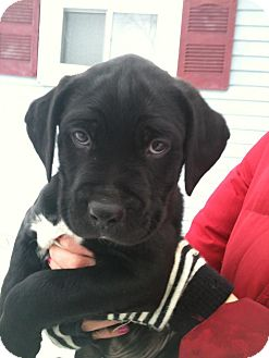 Labrador Retriever/Boxer Mix Puppy for adoption in Hadley, Michigan - Bessie