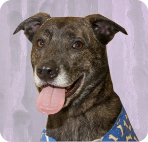 Greyhound/Labrador Retriever Mix Dog for adoption in Cincinnati, Ohio - Leaper