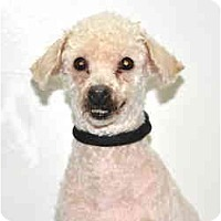 Adopt A Pet :: Precious - Port Washington, NY
