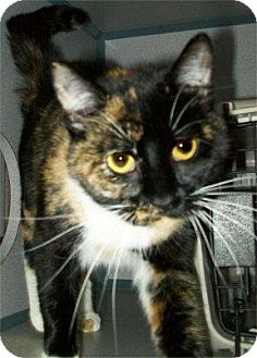 Domestic Shorthair Cat for adoption in Waupaca, Wisconsin - Trixie