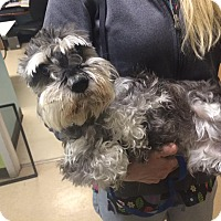Schnauzer (Miniature) Dog for adoption in Oak Ridge, New Jersey - Zandy