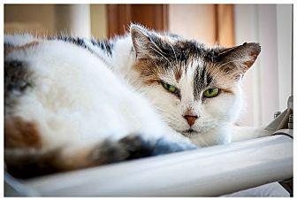 Domestic Shorthair Cat for adoption in Middletown, New York - Topaz