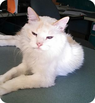 Siamese Cat for adoption in Scottsdale, Arizona - Blue-Foster 16 yr