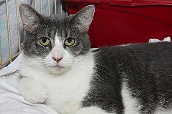 Domestic Shorthair Cat for adoption in Columbus, Ohio - Naomi