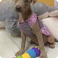 Adopt A Pet :: CIERRA - Fort Pierce, FL