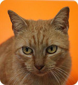 Domestic Shorthair Cat for adoption in Sarasota, Florida - Amber