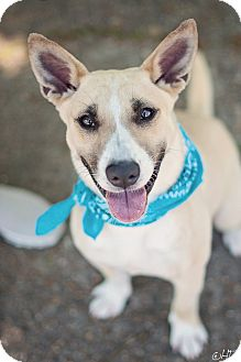 Shepherd (Unknown Type) Mix Dog for adoption in Kingwood, Texas - Steve