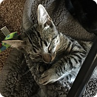 Adopt A Pet :: Tiger - Yuba City, CA