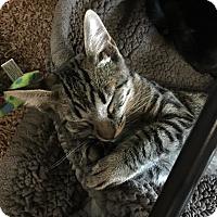 Domestic Shorthair Kitten for adoption in Yuba City, California - Tiger