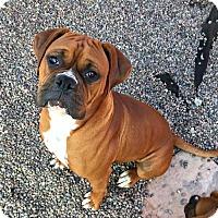 Boxer Dog for adoption in Santa Monica, California - Suede