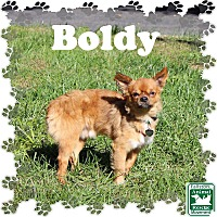 Adopt A Pet :: Boldy - Fallston, MD