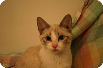 Domestic Shorthair Kitten for adoption in St. Paul, Minnesota - Cyia