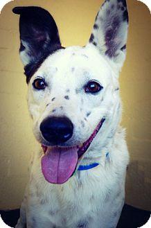 Australian Cattle Dog Mix Dog for adoption in Casa Grande, Arizona - Nirvana