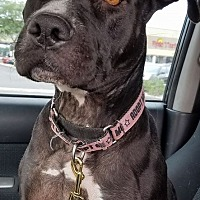 Pit Bull Terrier Mix Dog for adoption in Phoenix, Arizona - Gracie