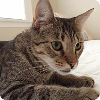 Domestic Shorthair Cat for adoption in New York, New York - Musashi
