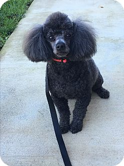 Poodle (Toy or Tea Cup) Dog for adoption in Nuevo, California - Jojo