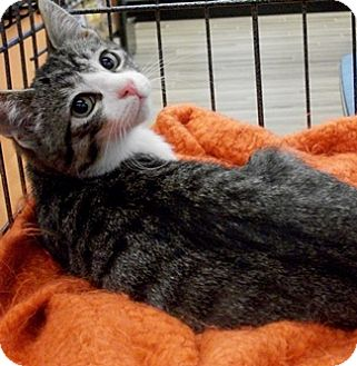 Domestic Shorthair Kitten for adoption in Castro Valley, California - Oscar