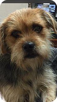 Silky Terrier Dog for adoption in Williamsburg, Virginia - Maxie
