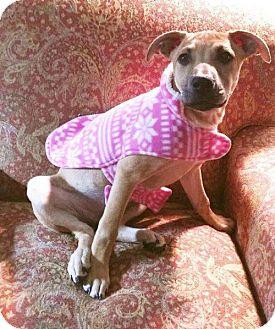Shepherd (Unknown Type)/Black Mouth Cur Mix Puppy for adoption in Little Rock, Arkansas - Minnie