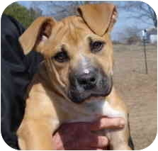Bullmastiff/Boxer Mix Puppy for adoption in Pisgah, Alabama - Jenny