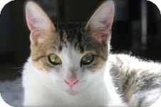 Domestic Shorthair Kitten for adoption in Marietta, Georgia - Izzy