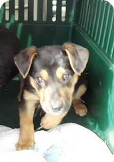 German Shepherd Dog Mix Puppy for adoption in Morgantown, West Virginia - Ernie