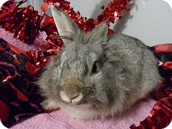 Lionhead Mix for adoption in Hillside, New Jersey - Finster