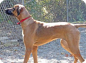 Rhodesian Ridgeback/Bloodhound Mix Dog for adoption in Irwin, Pennsylvania - Katie