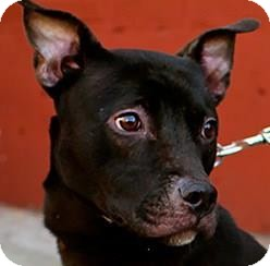 Terrier (Unknown Type, Medium)/Pit Bull Terrier Mix Dog for adoption in Brooklyn, New York - Harley