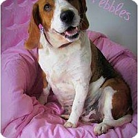 Adopt A Pet :: Pebbles - Courtesy - Indianapolis, IN
