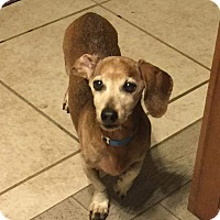 Dachshund Dog for adoption in Henderson, Nevada - Max
