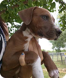 Pit Bull Terrier Puppy for adoption in Seguin, Texas - Cookie
