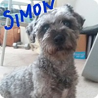 Adopt A Pet :: Simon - courtesy - Redondo Beach, CA
