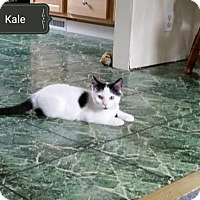 Domestic Shorthair Cat for adoption in Whitewater, Wisconsin - Kale