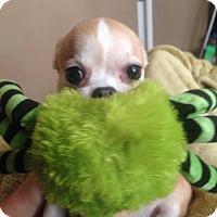 Adopt A Pet :: LACY !!! - Mastic Beach, NY