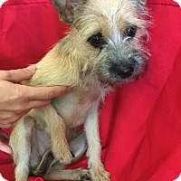Schnauzer (Miniature)/Terrier (Unknown Type, Small) Mix Puppy for adoption in Cat Spring, Texas - Aspen