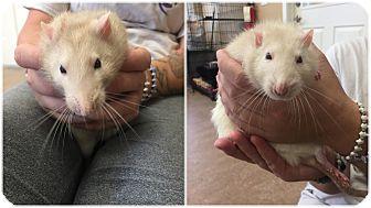 Rat for adoption in Downingtown, Pennsylvania - Timon & Pumba