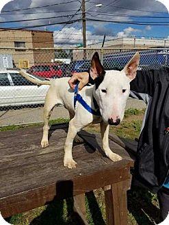 Bull Terrier Dog for adoption in Freeport, New York - Spud