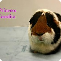 Adopt A Pet :: Princess Gordita - West Des Moines, IA