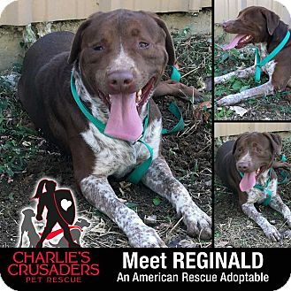 German Shorthaired Pointer/Labrador Retriever Mix Dog for adoption in Spring City, Pennsylvania - Reginald