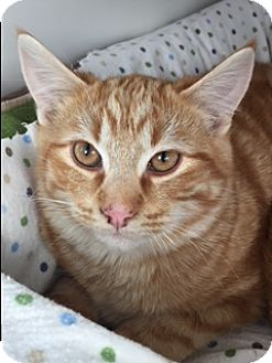 Domestic Shorthair Cat for adoption in Divide, Colorado - Patrick