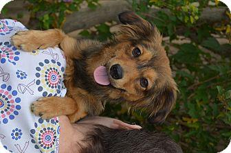 Dachshund/Spaniel (Unknown Type) Mix Puppy for adoption in Lodi, California - Leo