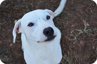 Labrador Retriever Mix Dog for adoption in Athens, Alabama - Harry