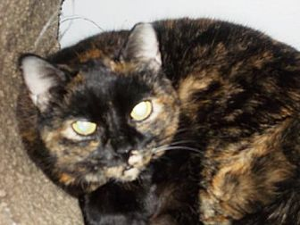 Domestic Shorthair Cat for adoption in Centreville, Virginia - Shirley
