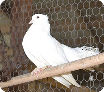 Pigeon for adoption in Indian Trail, North Carolina - Mickey Pigeon