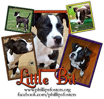 Boxer/Terrier (Unknown Type, Medium) Mix Puppy for adoption in Colleyville, Texas - Little Bit