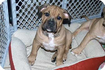 English Bulldog/American Pit Bull Terrier Mix Puppy for adoption in Minneola, Florida - Winston