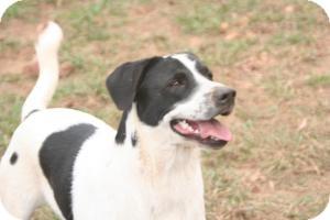 Feist/Labrador Retriever Mix Dog for adoption in Hayden, Alabama - Beau