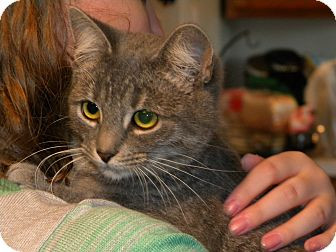 Domestic Mediumhair Kitten for adoption in Stafford, Virginia - Willow - Updated!